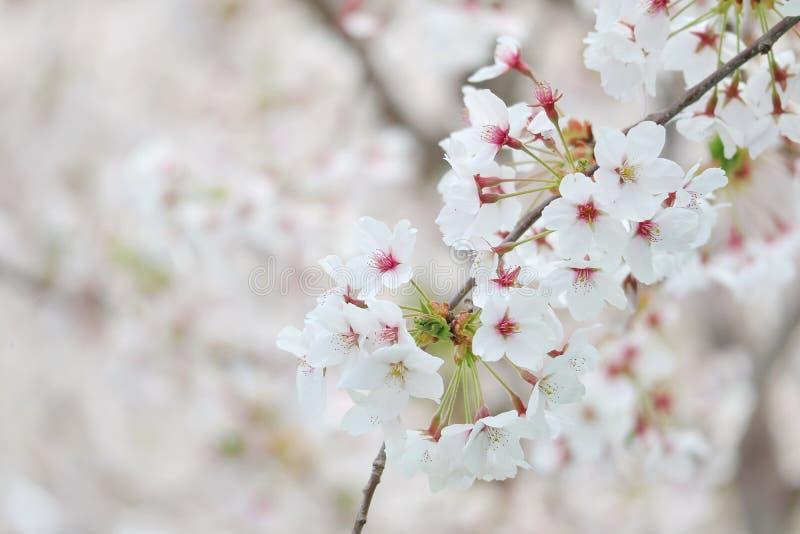 Крупный план фестиваля вишневого цвета стоковое изображение