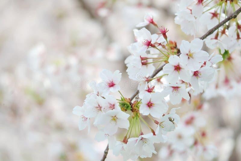 Крупный план фестиваля вишневого цвета стоковая фотография rf