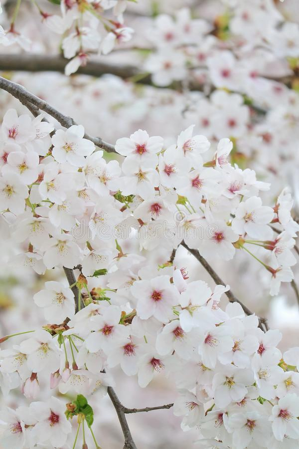 Крупный план фестиваля вишневого цвета стоковые изображения
