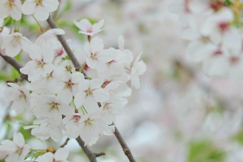 Крупный план фестиваля вишневого цвета стоковые фотографии rf
