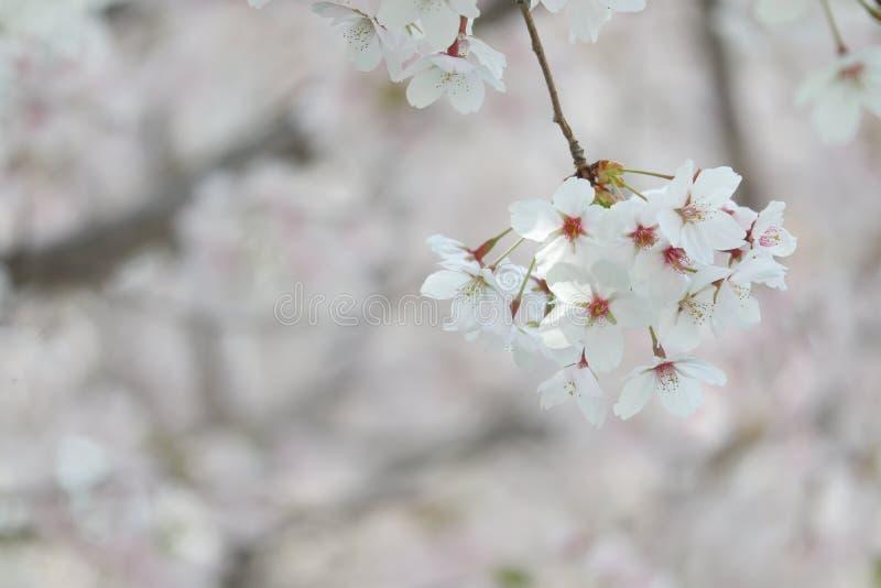 Крупный план фестиваля вишневого цвета стоковое фото rf