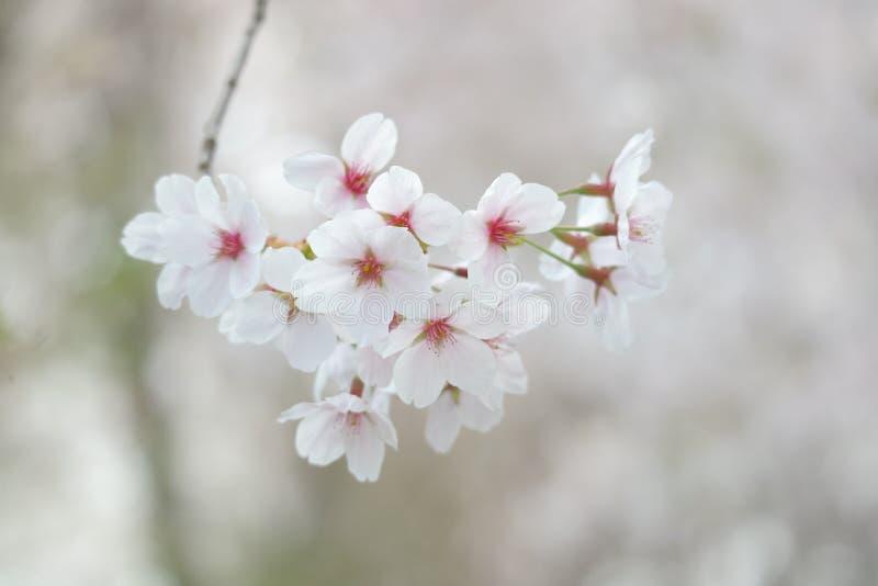 Крупный план фестиваля вишневого цвета стоковые изображения rf
