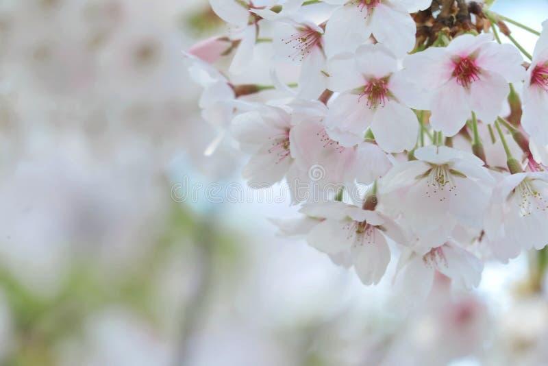 Крупный план фестиваля вишневого цвета стоковая фотография