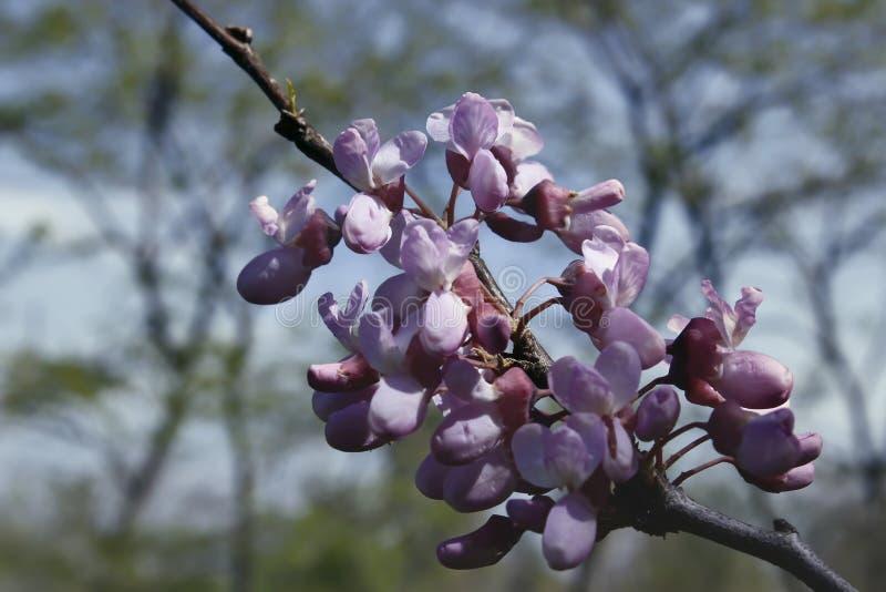 Крупный план цвести весны дерева стоковое изображение