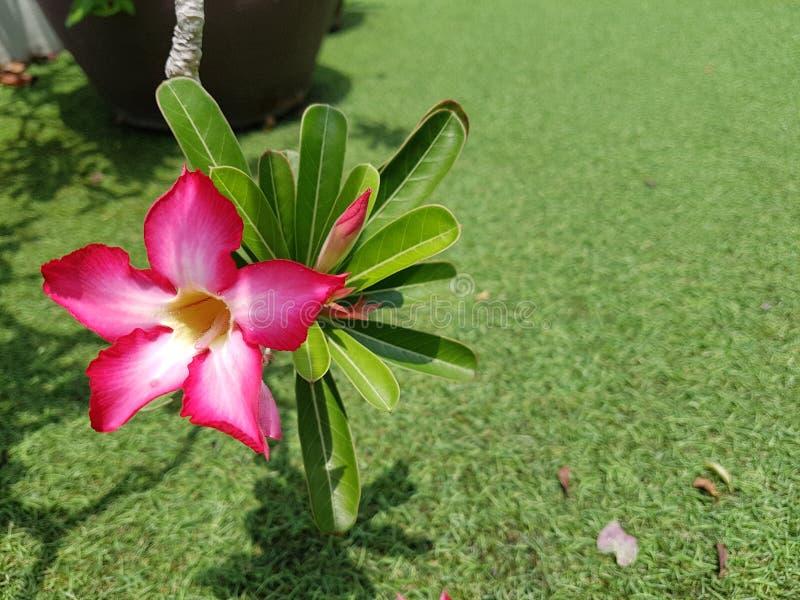 Крупный план цветка азалии, красивая свежая розовая азалия цветет, красивый розовый цветок в саде стоковое фото rf