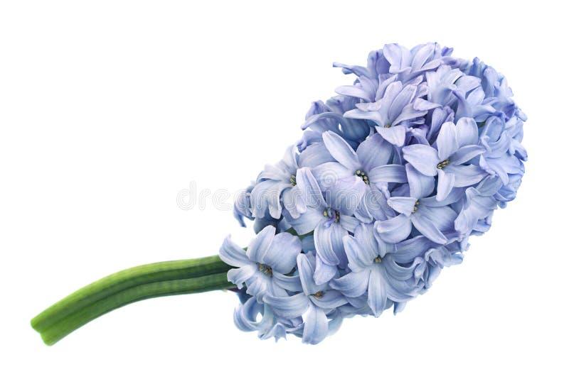 Крупный план цветка весны гиацинта изолировал стоковые фото