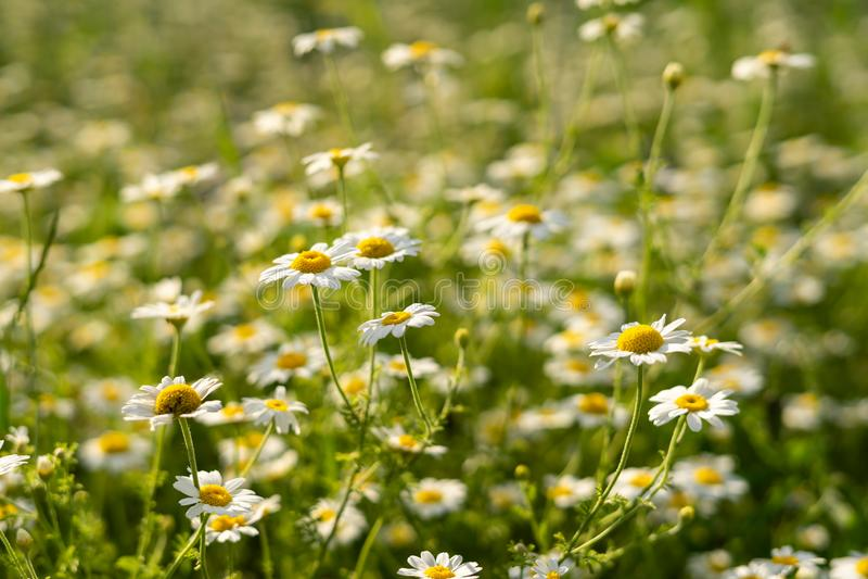 Крупный план цветков стоцветов поля стоковая фотография