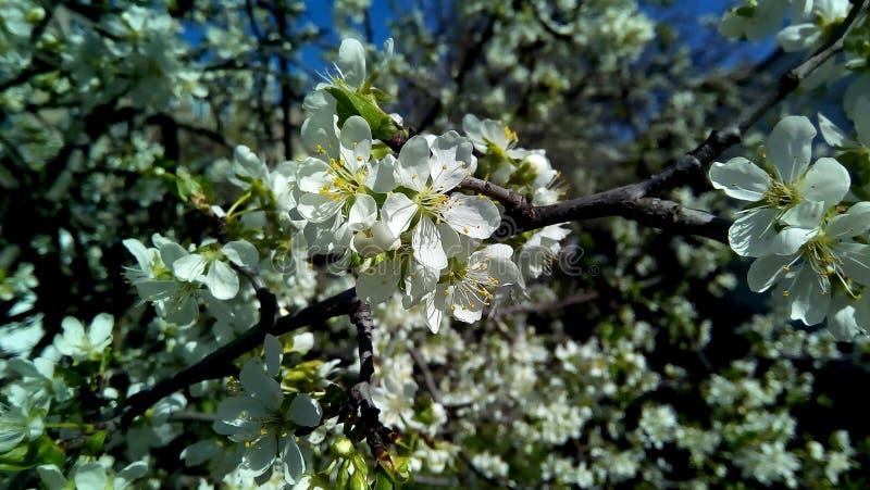 Крупный план цветя вишни Белые цветки против зеленых листьев, коричневых ветвей стоковое фото