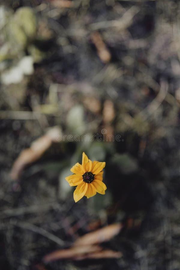 Крупный план черно-наблюданного цветка Сьюзан в саде стоковая фотография rf