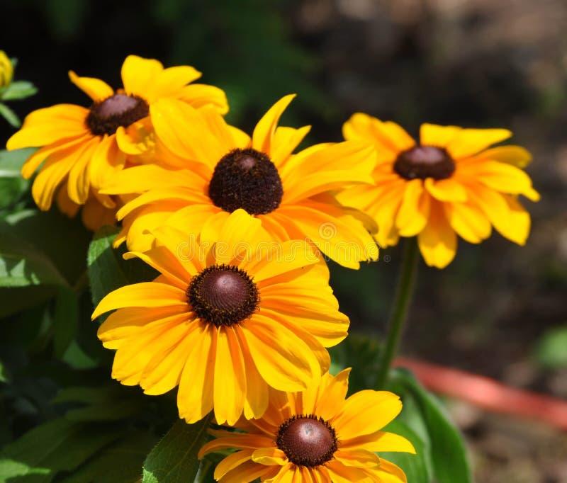 Крупный план черных наблюданных цветков Сьюзан в цветени на солнечный день стоковые изображения rf