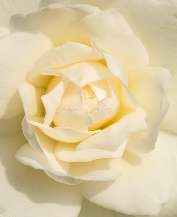 Крупный план чувствительной белой розы стоковое изображение