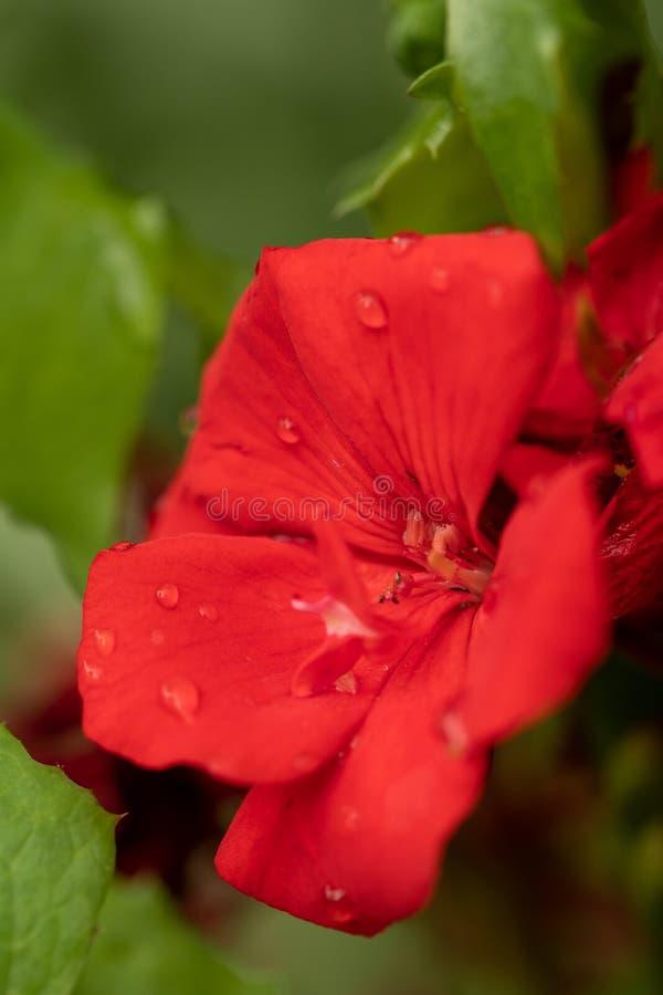 Крупный план яркого красного цветка сада Красный зацветая цветок на естественной зеленой запачканной предпосылке Деталь красного  стоковое фото rf