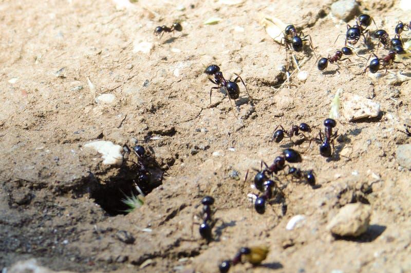 Крупный план anthill с муравьями работника, насекомыми, животным стоковое изображение