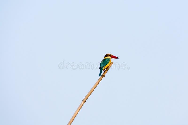 Крупный план atthis среднего размера красочных солитарных Alcedo Kingfisher сидя на бамбуке ждать для того чтобы уловить рыбу про стоковые изображения