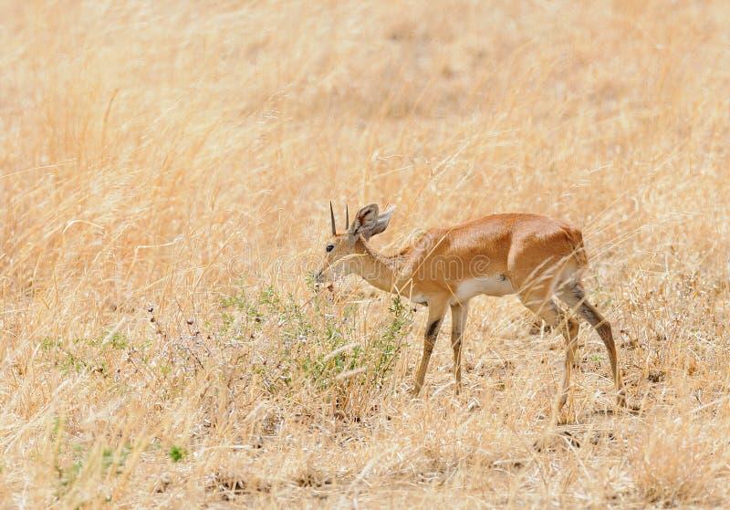 Крупный план campestris Raphicerus Steenbok стоковые фото