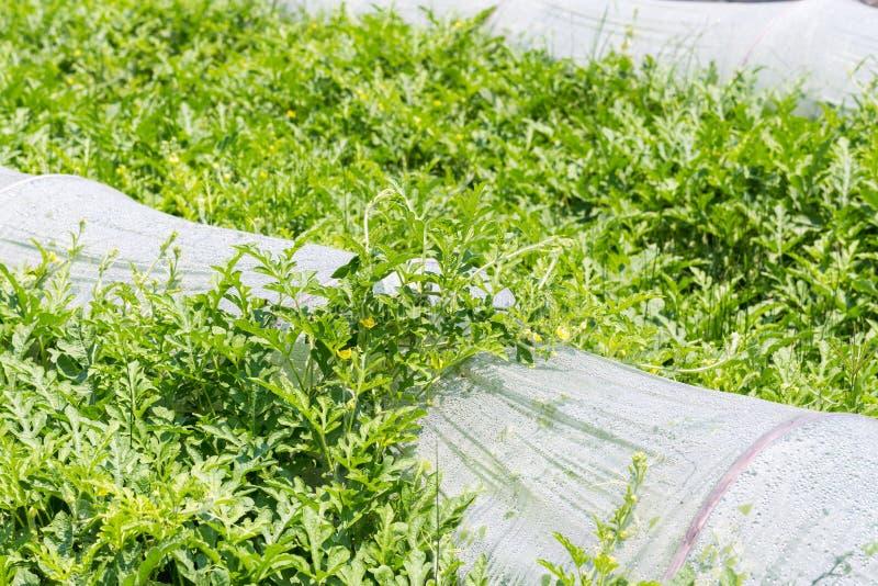 Крупный план cropland арбуза стоковые изображения