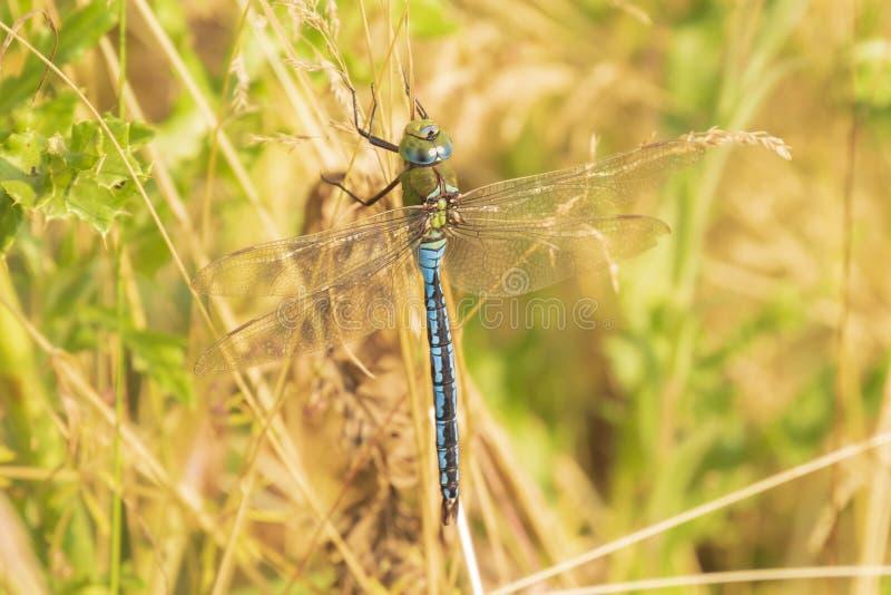 Крупный план dragonfly императора или голубого imperator Anax императора, отдыхая в растительности стоковое изображение