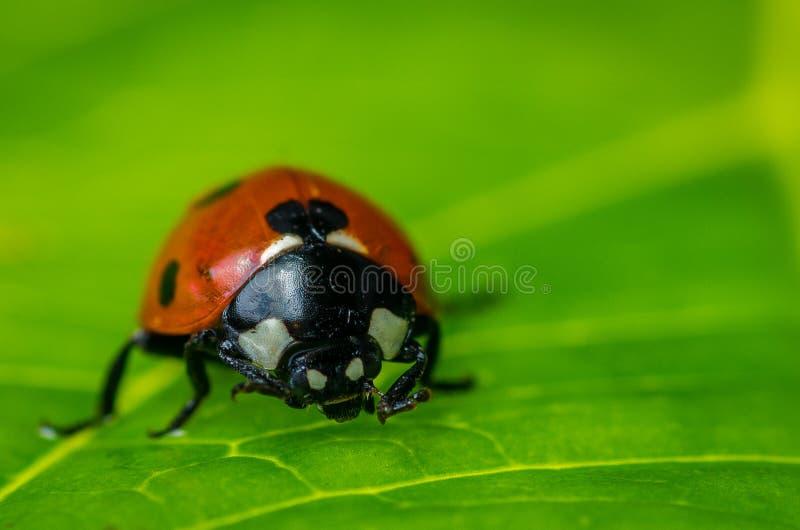 Крупный план ladybug на зеленых лист стоковая фотография rf