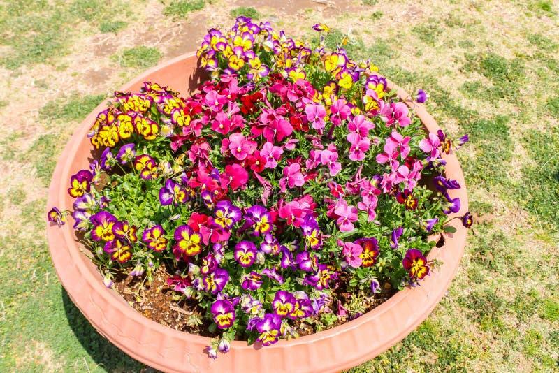 Крупный план Multicolor pansy цветет в большом цветочном горшке стоковая фотография