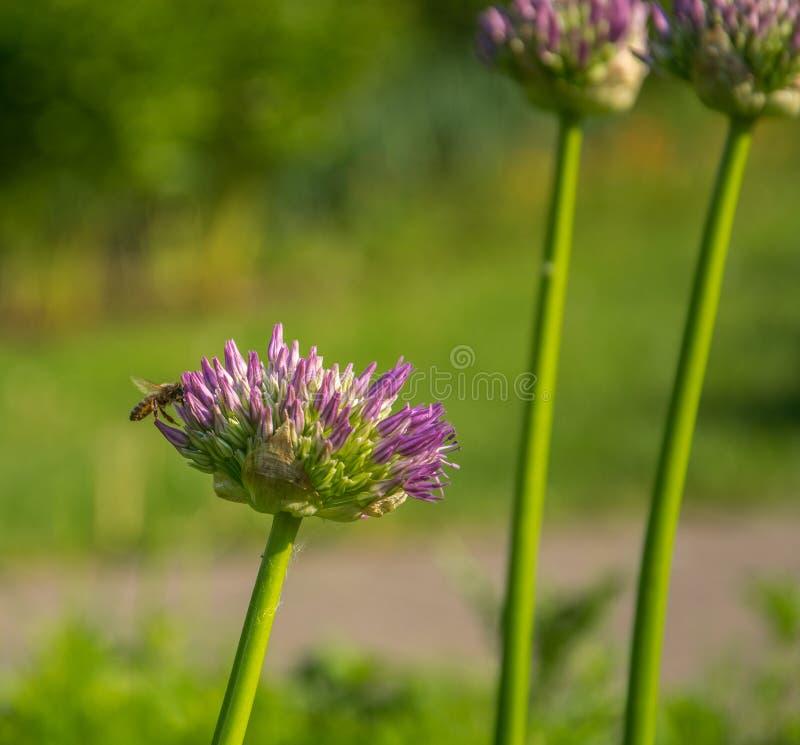 Крупный план schoenoprasum лукабатуна Пчела собирает нектар на фиолетовые Chives цветет стоковые изображения rf