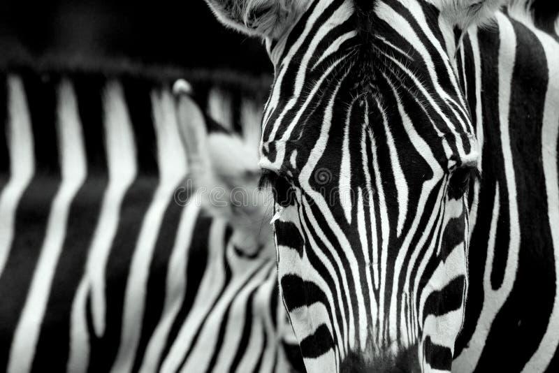 крупный план stripes зебра стоковые изображения rf