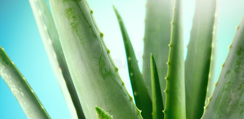 крупный план vera алоэ Завод Aloevera на голубой предпосылке Естественные органические косметики возобновлением, нетрадиционная м стоковое фото rf