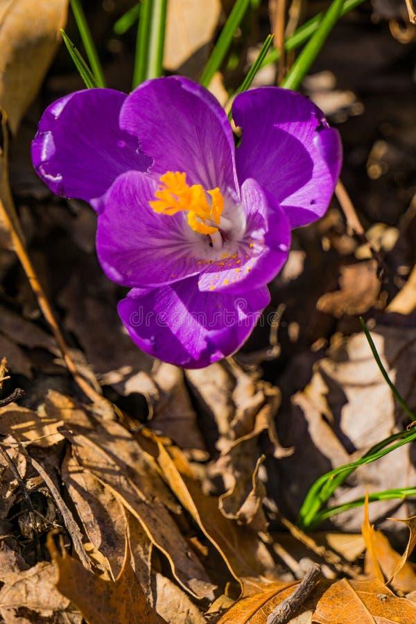 Крупный план Wildflower крокуса - первые цветки весны стоковая фотография