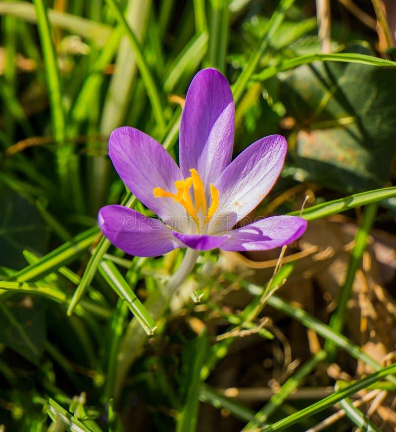 Крупный план Wildflowers крокусов - первых цветков весны стоковое изображение rf