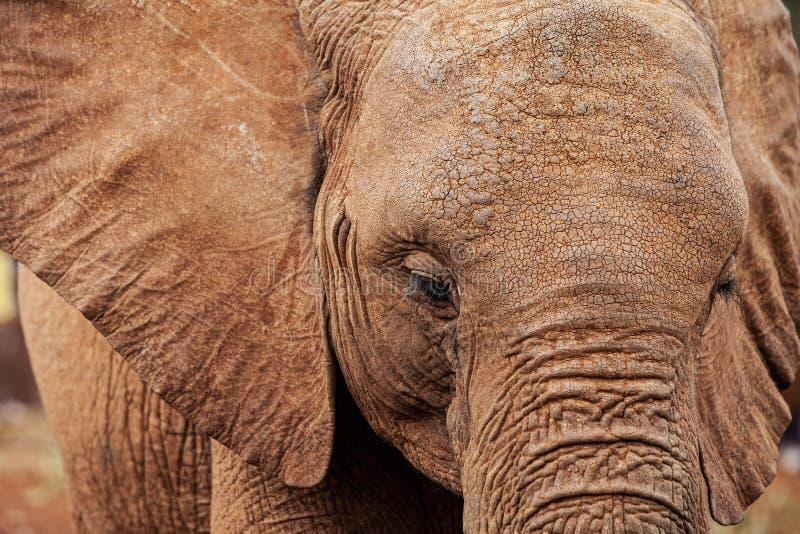 Крупный план африканского слона стоковые фотографии rf