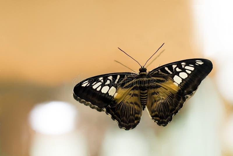 Крупный план бабочки Parthenos Сильвии экзотический тропический стоковые фото