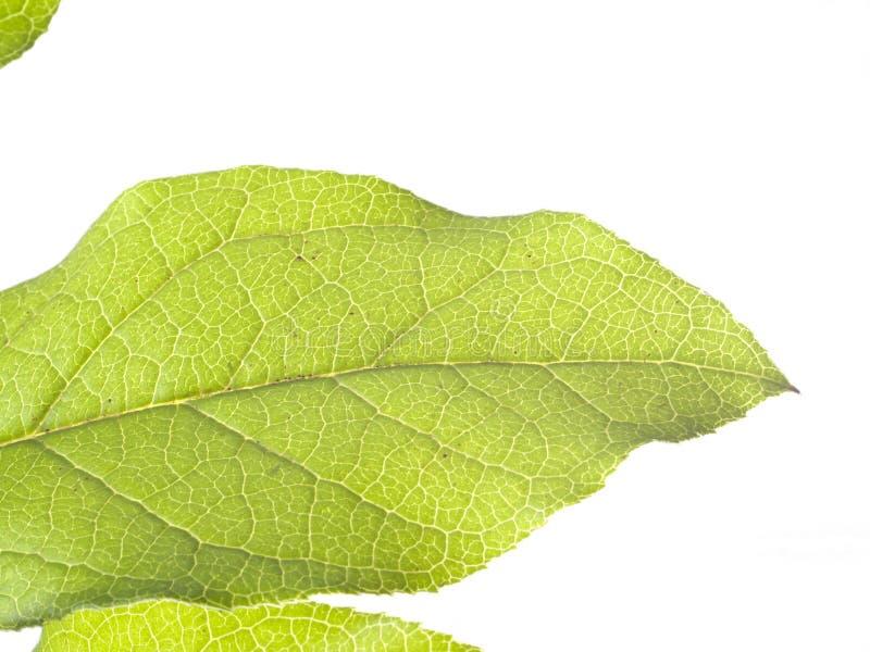Крупный план вен на зеленой предпосылке белизны лист стоковая фотография rf