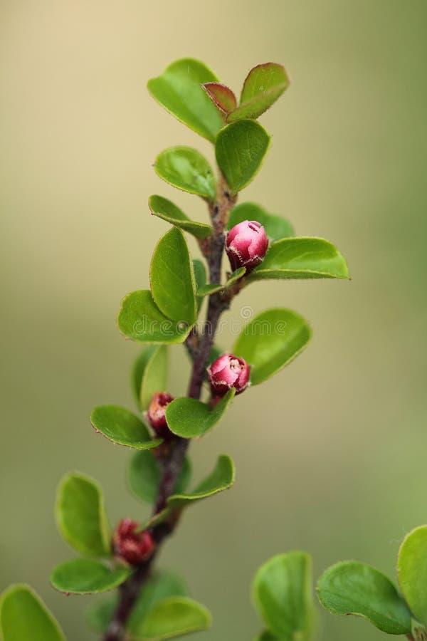 Крупный план ветви кизильника зацветая на природе запачкал предпосылку желтый цвет весны лужка одуванчиков предпосылки полный стоковое фото