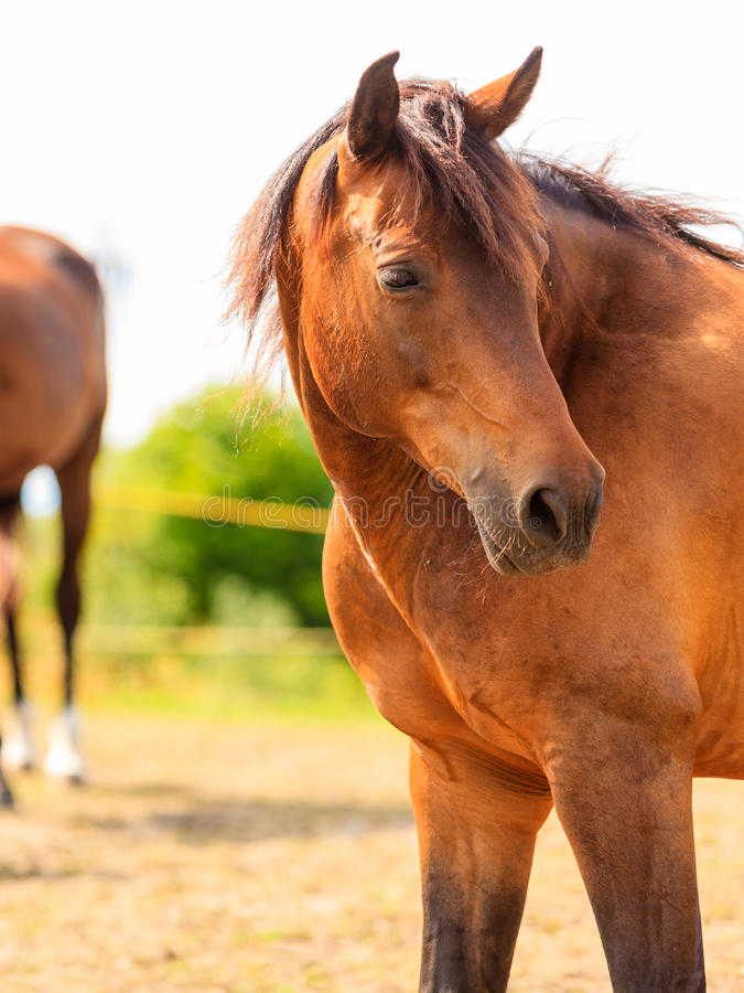 Крупный план величественной грациозно коричневой лошади стоковая фотография rf