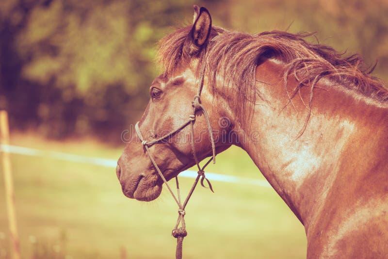 Крупный план величественной грациозно коричневой лошади стоковые фотографии rf