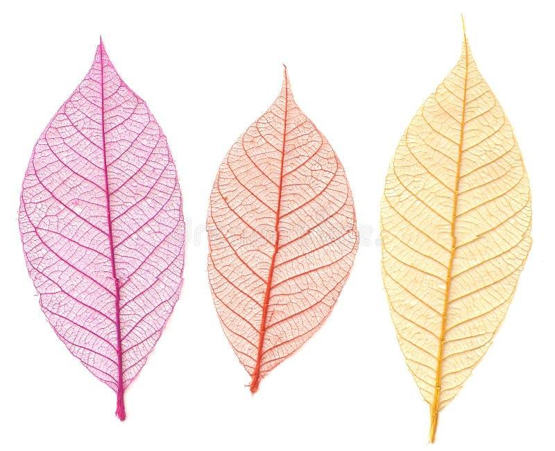 Каркасные листья стоковое изображение rf