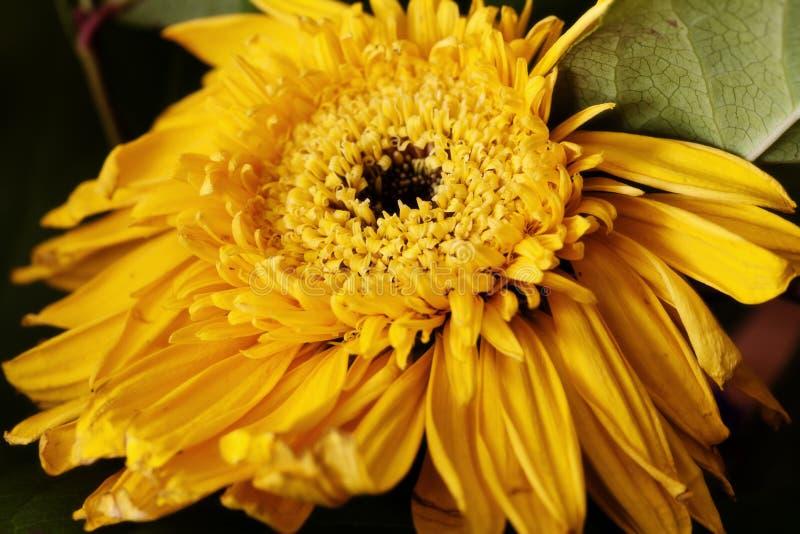 Крупный план желтого цветка Солнця с зелеными листьями стоковые фотографии rf