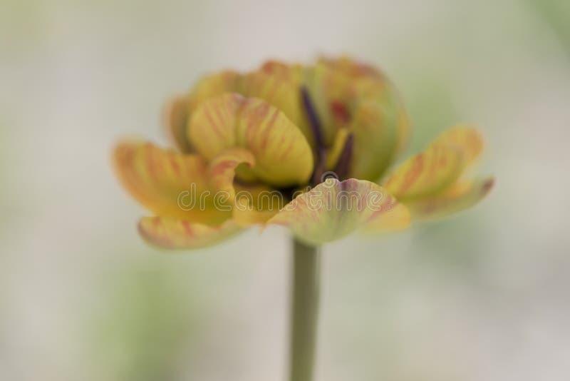 Крупный план желтого цветка тюльпана с красными нашивками стоковые изображения rf