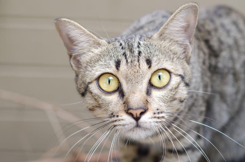 Крупный план желт-наблюданного кота стоковое фото rf