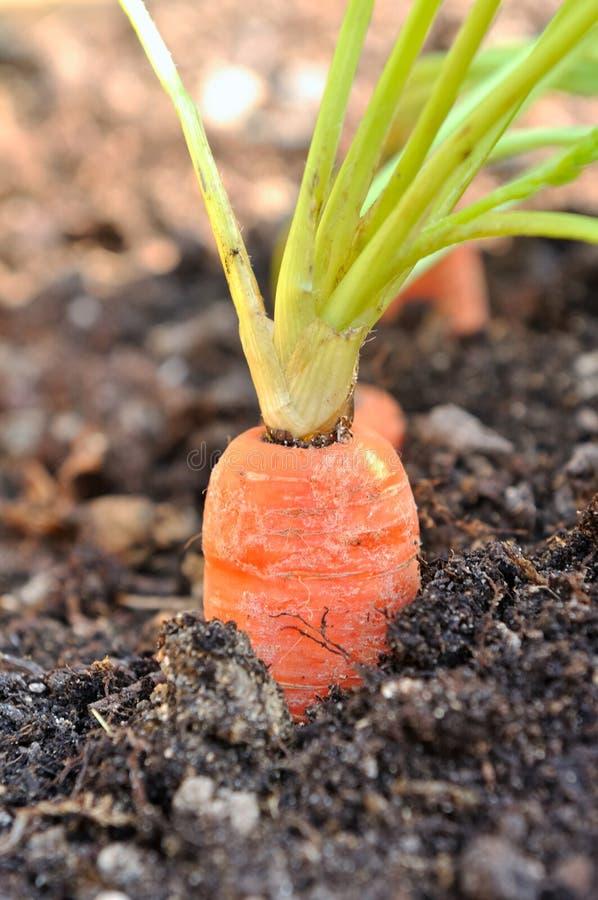 Моркови в огороде стоковое фото rf
