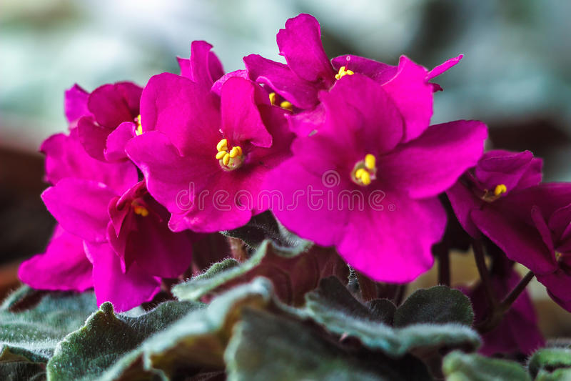Крупный план комнатного растения африканского фиолета (розового ionantha узамбарской фиалки) стоковое фото rf