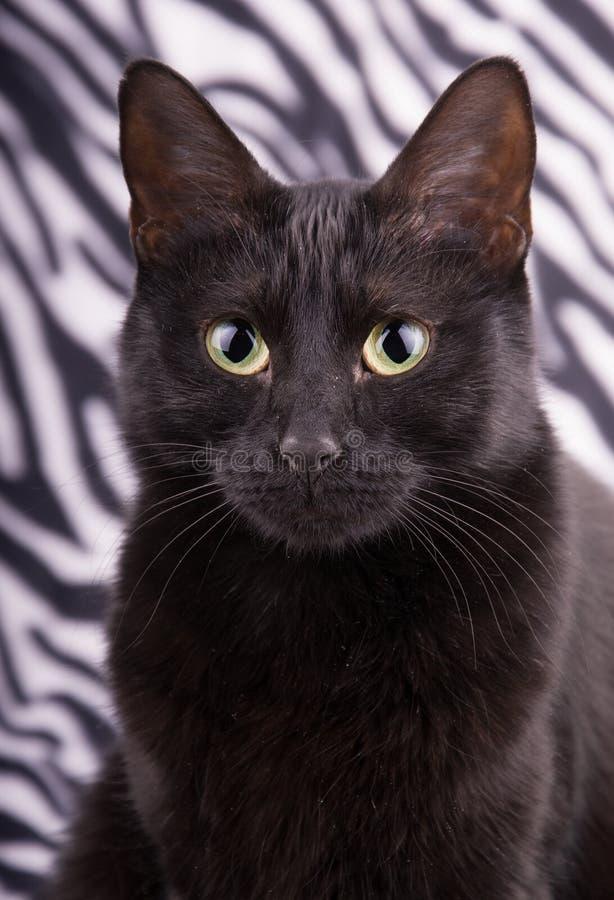 Крупный план красивого черного кота стоковые фото