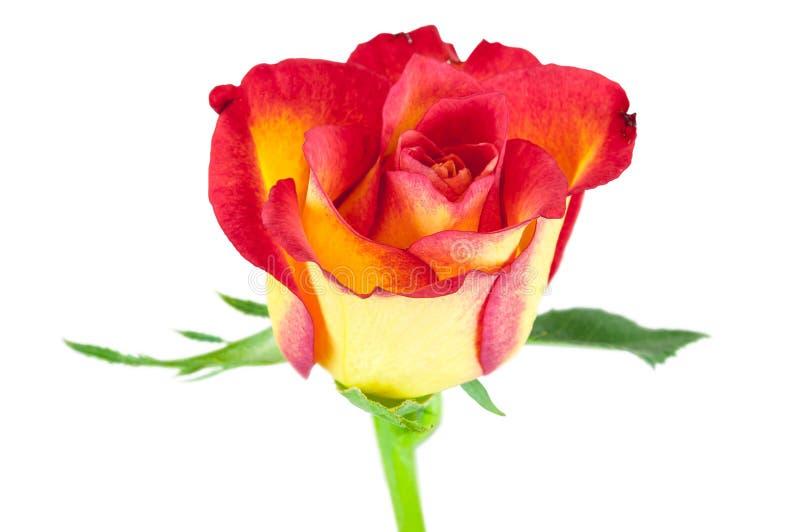 Крупный план красного цветка розы желтого цвета стоковые изображения rf
