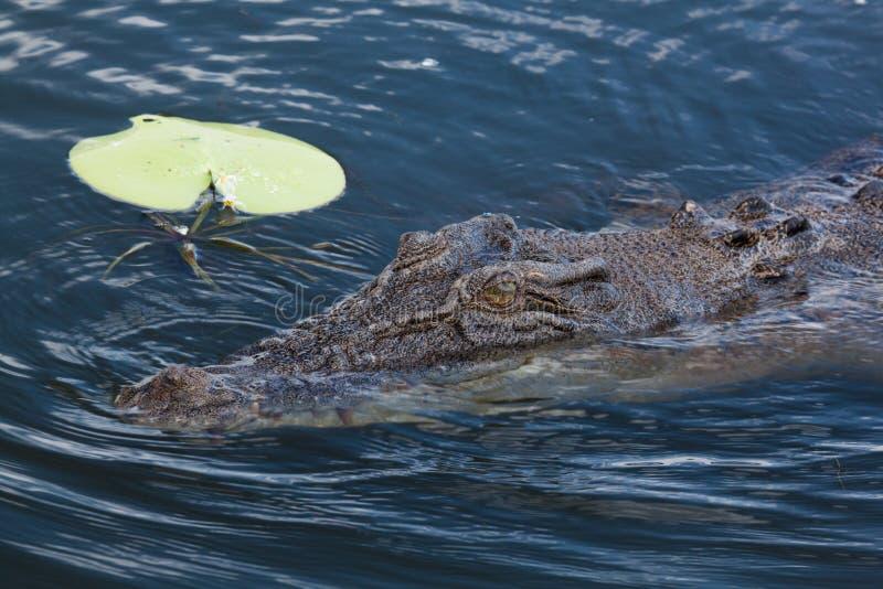 Крупный план крокодила стоковые фото