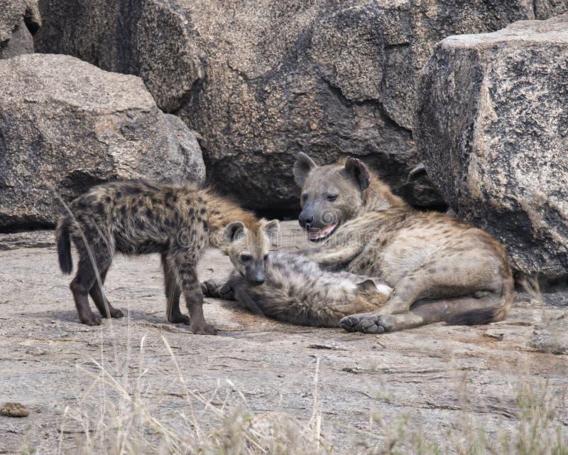 Крупный план матери запятнал гиену с 2 новичками на утесе стоковое изображение