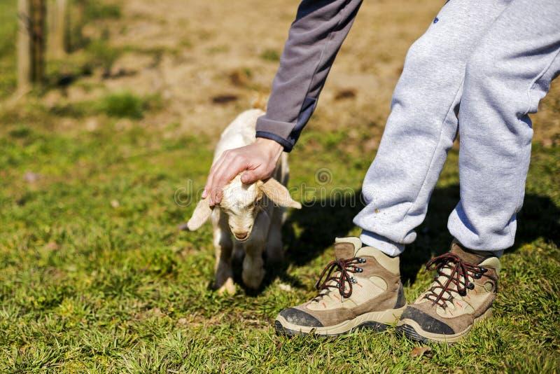 Крупный план мальчика лаская милую козу младенца стоковая фотография rf