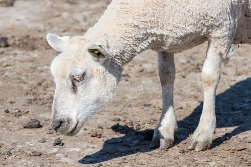 Крупный план овец головной стоковые фото