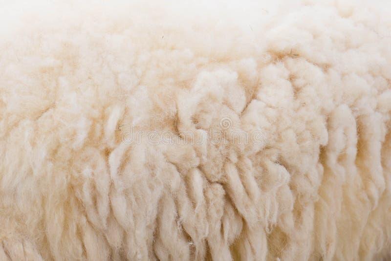 Крупный план овец шерстей стоковое фото