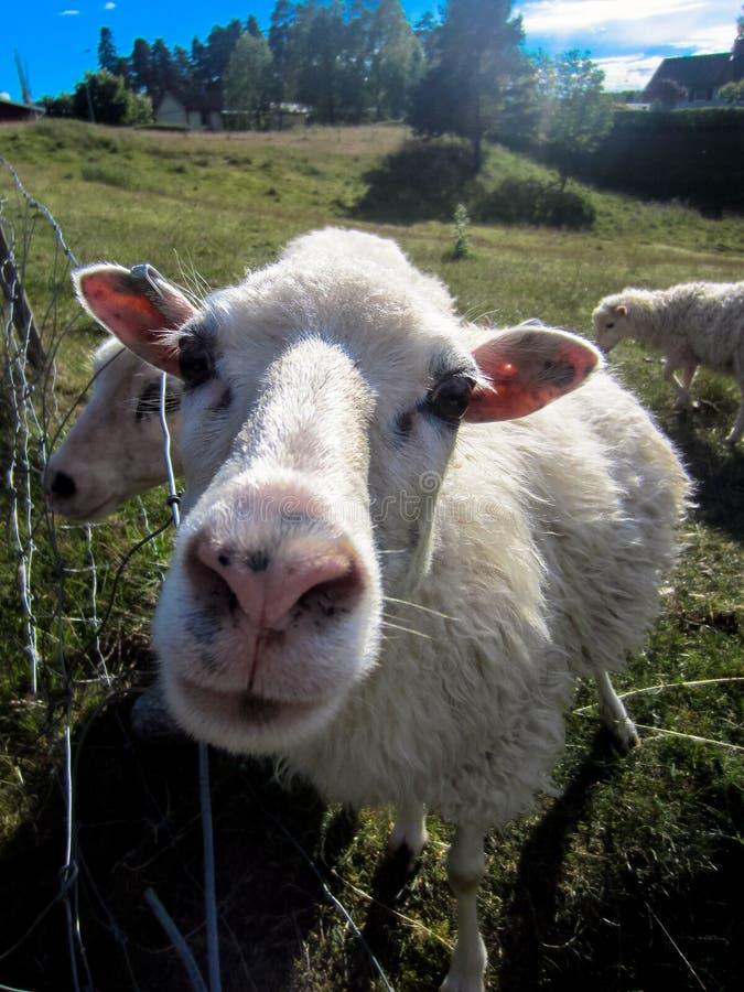 Крупный план овец стоковая фотография rf