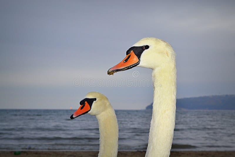 Крупный план пар лебедя стоковые фотографии rf
