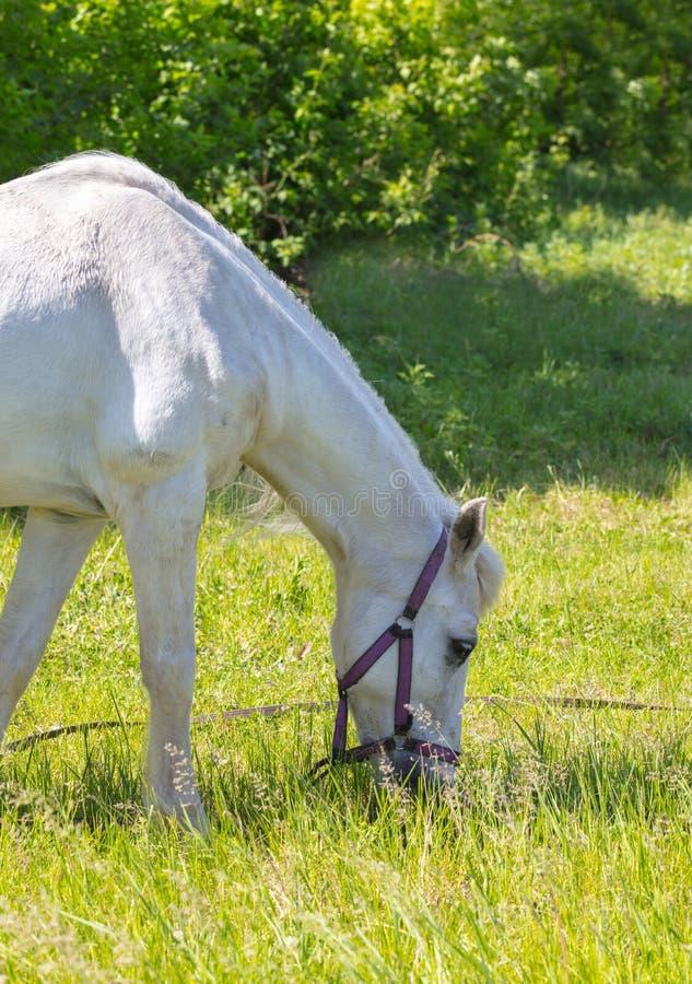 Крупный план портрета лошади стоковые изображения rf